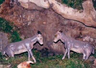 Cabras montesas en celo en 2005.